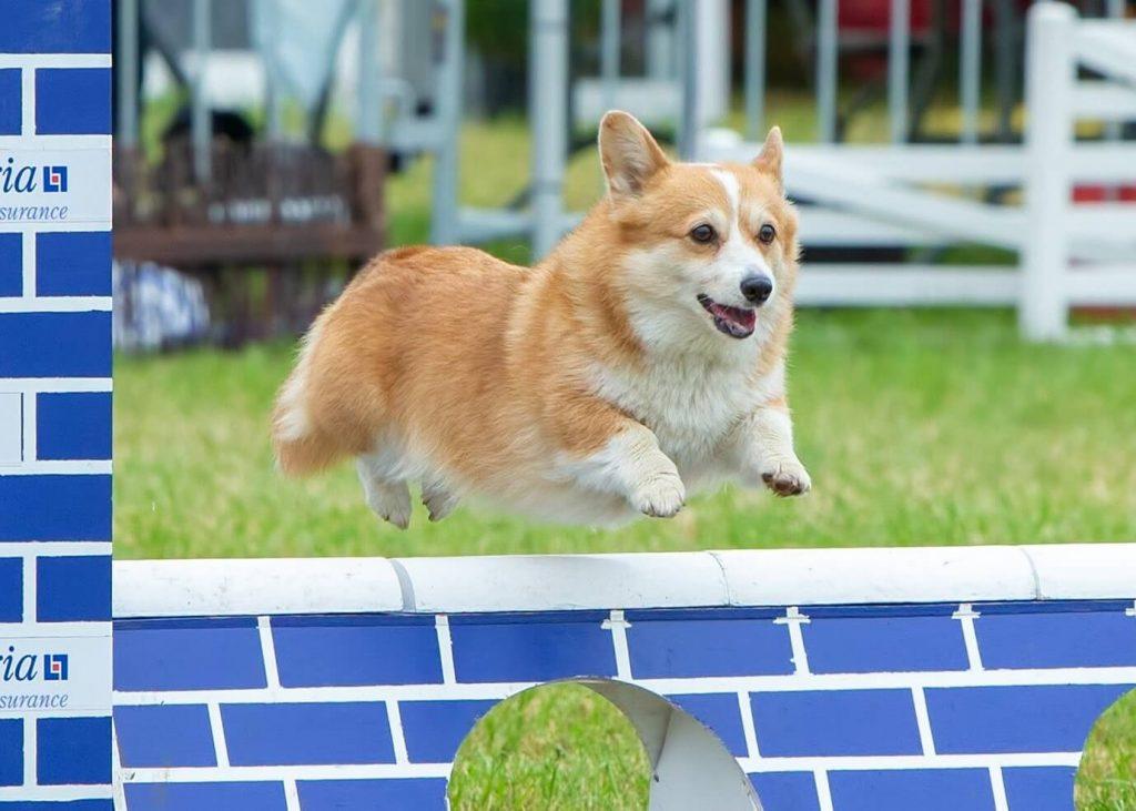 Pembroke Corgi jumping the agility wall