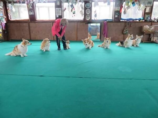 Obedience training for Corgis